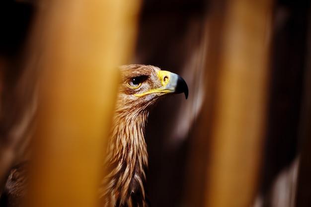 Águia dourada em um zoológico