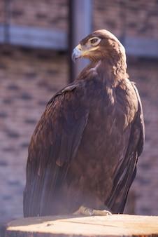 Águia dourada na natureza closeup lindo pássaro