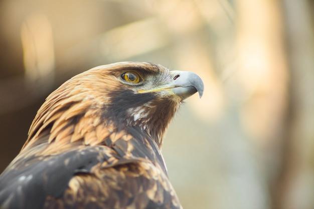 Águia dourada sentado no galho. retrato de águia dourada. pássaro da caça