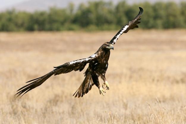 Águia imperial espanhola macho adulto voando com as primeiras luzes do nascer do sol