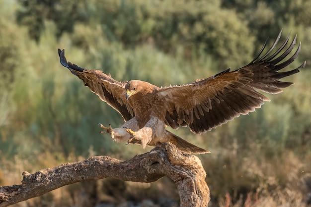 Águia imperial ibérica em um galho com asas abertas ou em voo