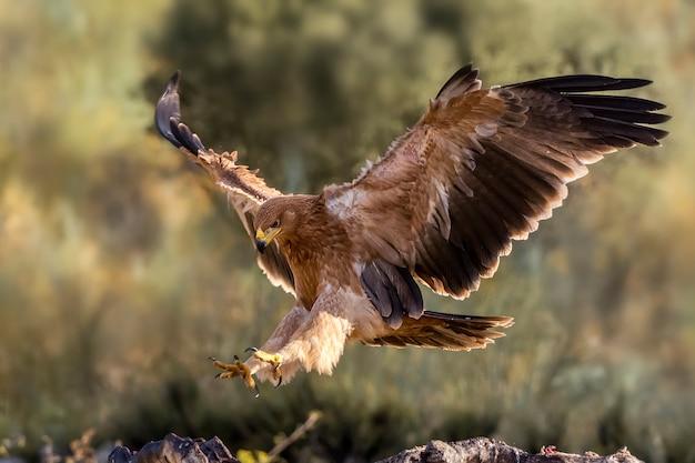 Águia imperial ibérica na natureza