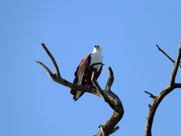 Águia no safari no parque nacional de chobe, botswana, áfrica