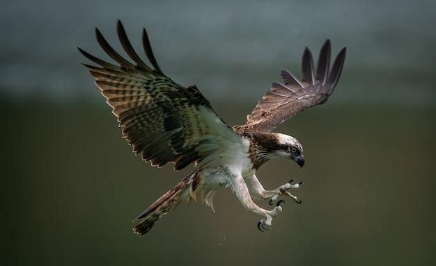 Águia-pescadora incrível ou falcão do mar tentando caçar