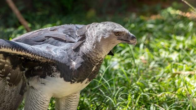 Águia-real da espécie harpia harpyja