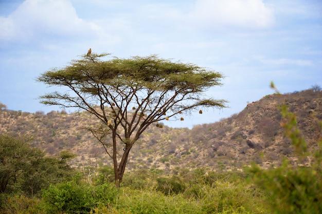 Águia, sentado em um galho em uma enorme árvore