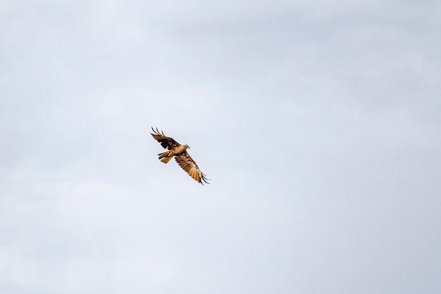 Águia vermelha no céu na natureza na tailândia