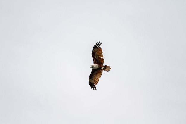 Águia vermelha voar no céu na natureza na tailândia