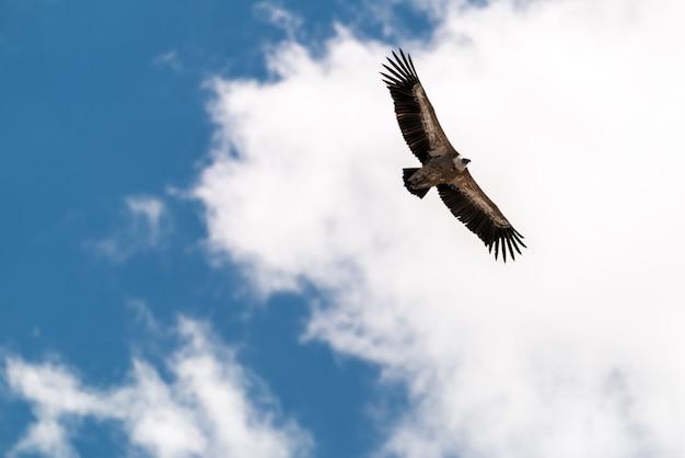 Águia voando no céu azul