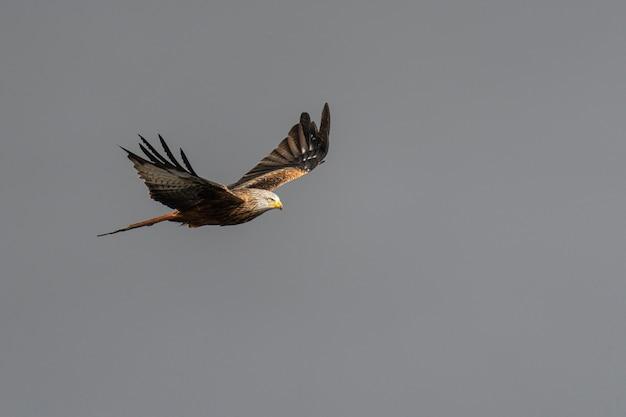 Águia voando no céu com asas abertas