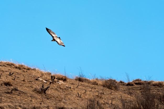 Águia voando sobre a montanha