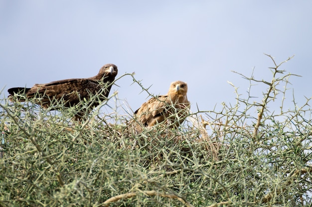 Águias tawny fecham. parque nacional do serengeti, tanzânia, áfrica. vida selvagem africana