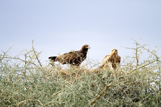 Águias tawny fecham. parque nacional serengeti