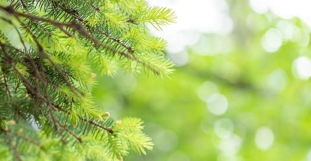 Agulhas de pinheiro verde jovens em fundo bokeh verde-amarelo turva iluminado pelo sol. beleza da natureza. imagem com foco suave.