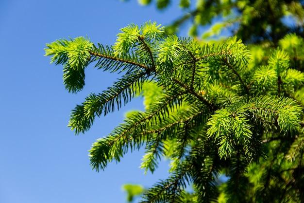 Agulhas jovens em galhos de pinheiros na primavera