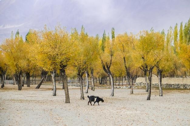 Ajardine a vista do amarelo deixa árvores na estação do outono.