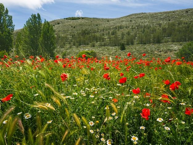Ajardine com panorama do campo de flores da papoila em um dia ensolarado. conceito de verão