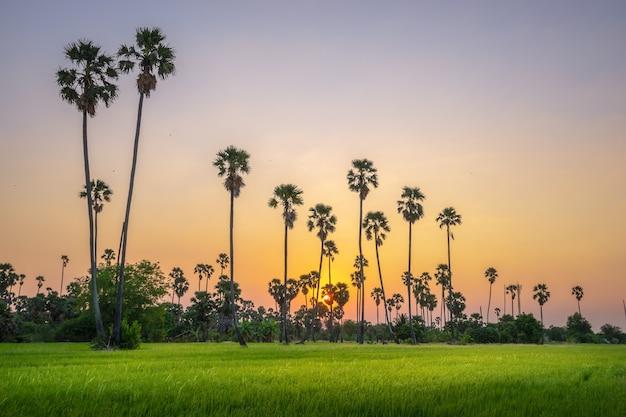Ajardine sob o céu colorido cênico no por do sol sobre o campo do arroz e as palmeiras do açúcar.
