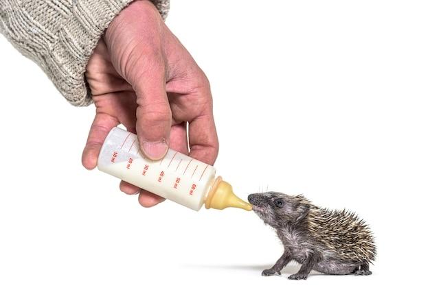 Ajudando a mão humana a dar comida com uma mamadeira um jovem ouriço europeu, isolado