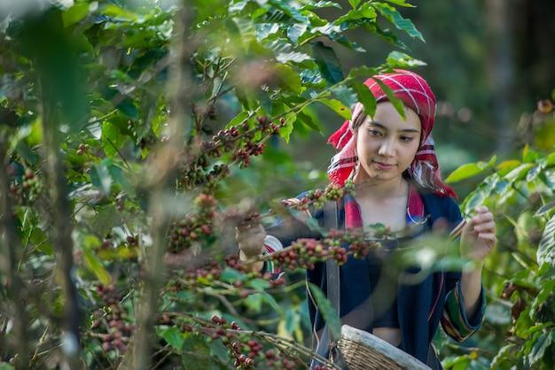 Akha colina escolher as bagas de café arábica na plantação, chiang rai tailândia