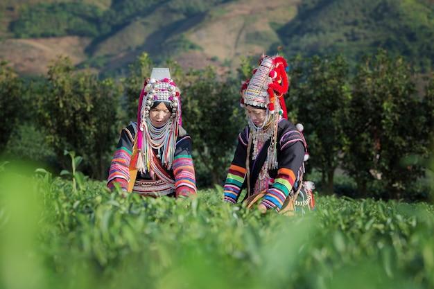 Akha mulheres da tailândia colhendo folhas de chá na plantação de chá em chui fong, chiang rai, t