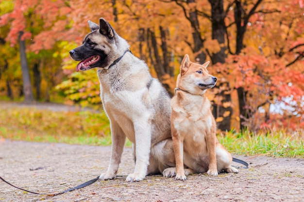 Akita e shiba para passear no parque. dois cães para passear. outono