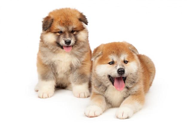 Akita inu cachorrinho em branco