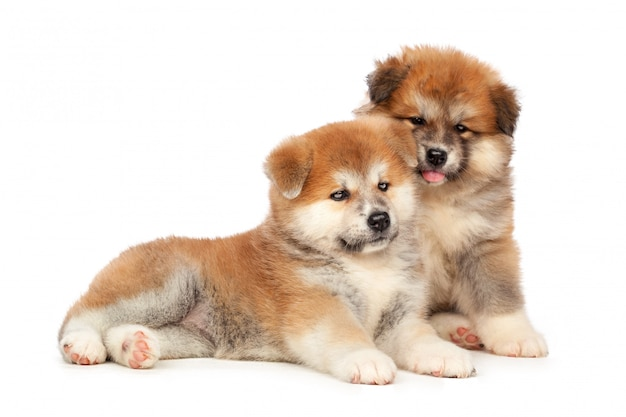 Akita inu cachorrinho