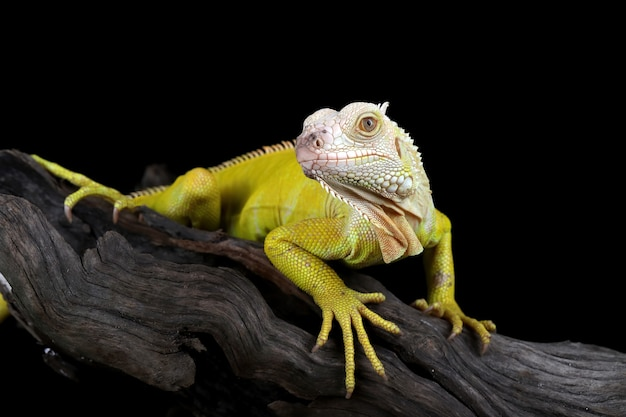 Albino iguana em um galho