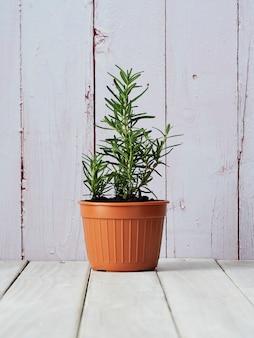 Alecrim orgânico plantado em uns potenciômetros colocados em um assoalho de madeira branco com uma área da cópia.