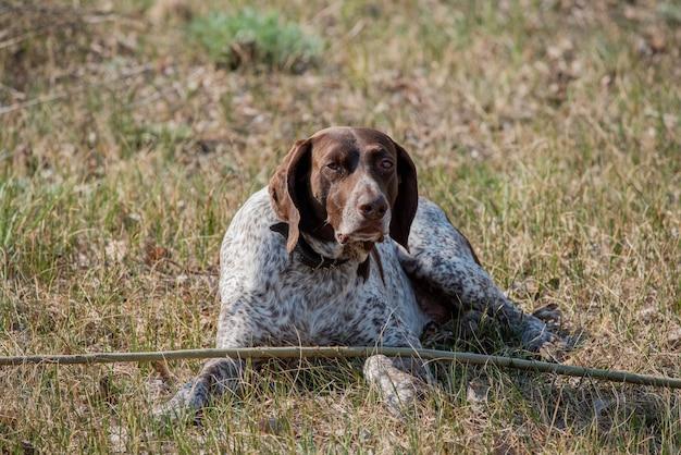 Alemão kurzhaar cão apontador de pêlo curto alemão. kurzhaar é um cão esguio e até magro.