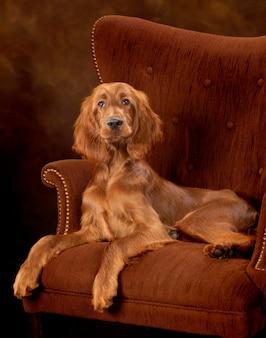 Alerta cão sentado na poltrona à moda antiga