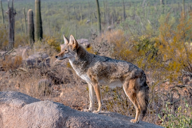 Alerta de coiote no topo de uma pedra no deserto do arizona