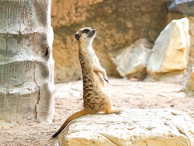 Alerta, meerkat, ficar, guarda