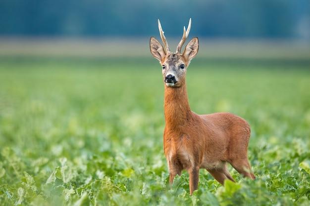 Alerta o cervo em pé no campo na natureza do verão