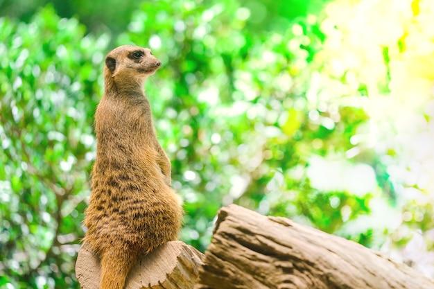 Alerta suricate ou meerkat