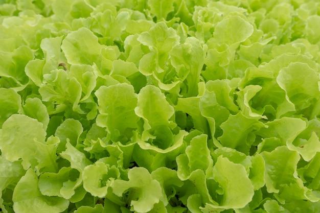 Alface de carvalho verde closeup