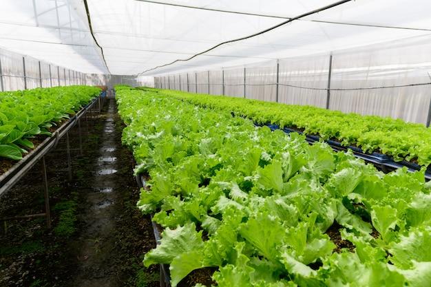 Alface de carvalho verde em fazenda orgânica em lop buri,