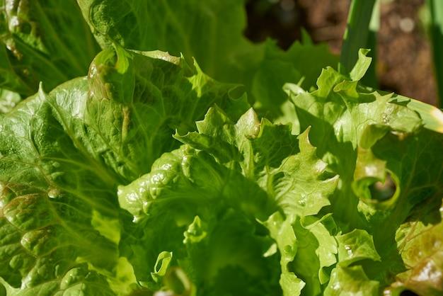 Alface de folha de carvalho em um campo de pomar