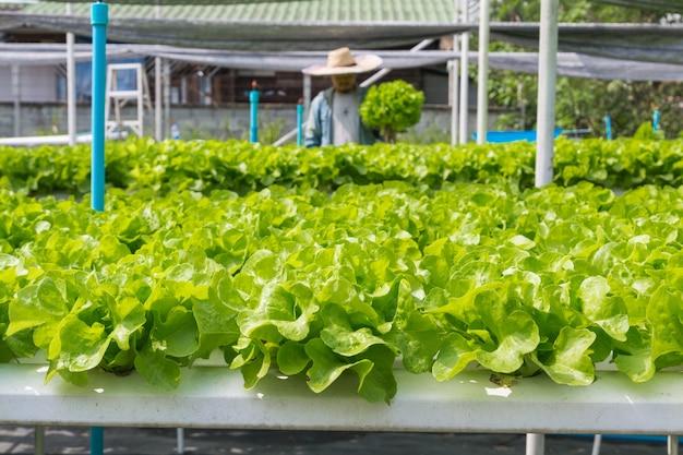 Alface de salada verde crua crescendo em tubo plástico em fazenda de agricultura orgânica de hidroponia