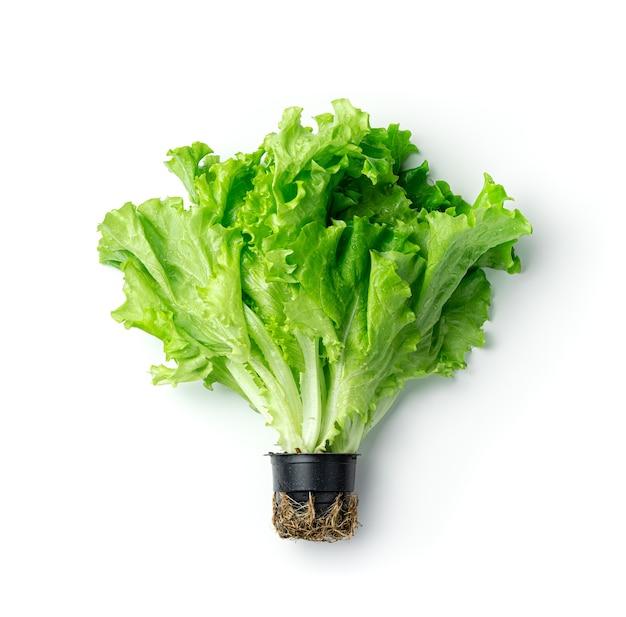 Alface fresca e suculenta com gotas de água em uma panela sobre um fundo branco. o conceito de nutrição saudável.