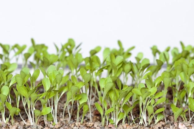 Alface (lactuca sativa) belos cotilédones de alface após a germinação após 7 dias para sistema hidropônico. lima, peru