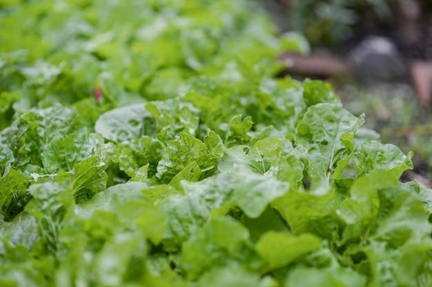 Alface verde fresca da fazenda