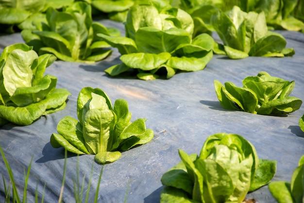 Alface verde fresca na fazenda de vegetais orgânicos.