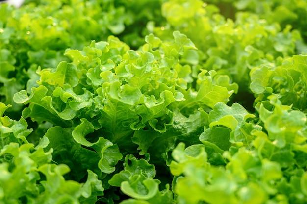 Alface verde na fazenda orgânica
