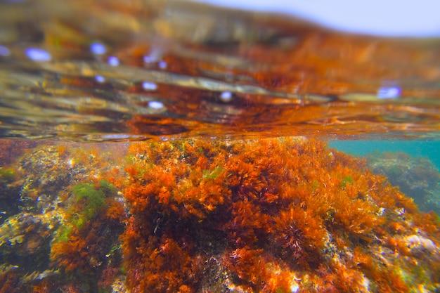 Algas de algas marinhas subaquáticas em denia javea