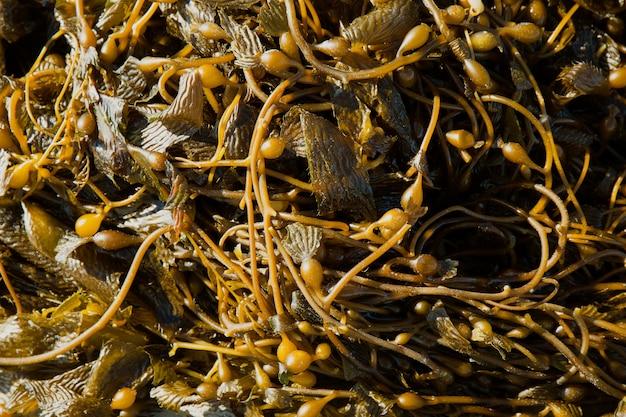 Algas marinhas do pacífico da califórnia kelp gigante macrocystic pyrifera