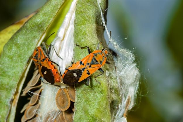 Algodão vermelho stainer bug mating
