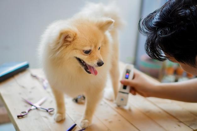 Alguém que prepara ou corta um pelo de cachorro, uma raça pomeraniana ou de cachorro pequeno, com um cortador de cabelo e mostra a língua