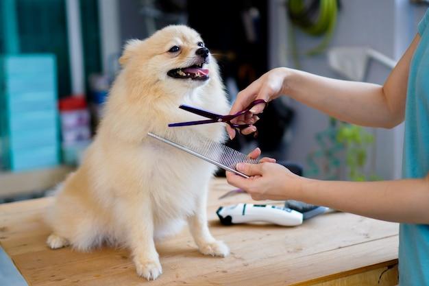 Alguém que prepara ou corta um pelo de cachorro uma raça pomeraniana ou de cachorro pequeno com uma tesoura